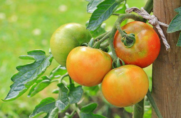 tomato-project